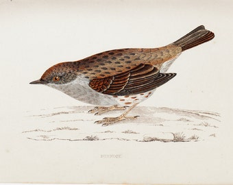 1865 Antique BIRD print of a alpine Dunnock. Original antique hand colored print