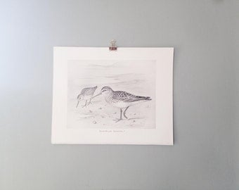 Vintage Bird Bookplate / Broad Billed Sandpiper
