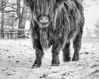 Highland Cattle 21 - Fine Art Photography - Highland Cow - Nature Photography