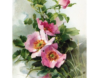 Rose Greeting Card | Hedge Roses Flowers | Repro Catherine Klein