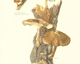 1963 Fringed Polypore - Polyporus ciliatus, Winter Polypore - Polyporus brumalis Vintage Offset Lithograph