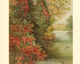 1913 Autumn Colors on Lake Erie, Poison Ivy, Virginia Creeper, Victoria Creeper, White Pine, White Cedar, Eastern Hemlock Antique Lithograph