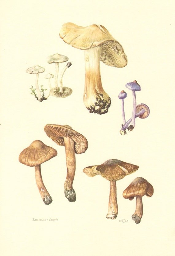 1963 Mushrooms, Inocybe Species, Silky Fibrecap, Earthy Inocybe, Pear Fibrecap, Frosty Fibrecap Vintage Offset Lithograph