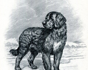 Newfoundland Vintage Dog Illustration Edwin Megargee 1950s Dog Art Black and White