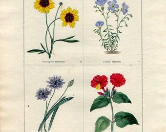 Antique 1836 Botanical Print - Coreopsis, Linum, Catananche, Mirabilis, Benjamin Maund, With Original Hand Colouring, Floral Wall Art
