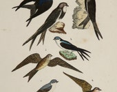 1854 Antique print of SWALLOWS, different species. Martins. Swallow. Birds. Ornithology. 162 years old rare engraving.