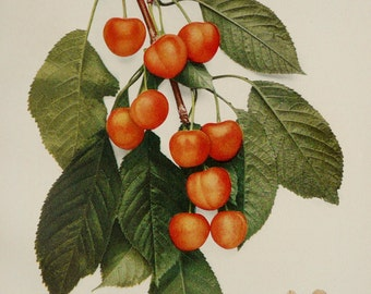 1900 Antique gorgeous lithograph of CHERRIES. Fruits. Cherry. Botany print. 117 year old nice print