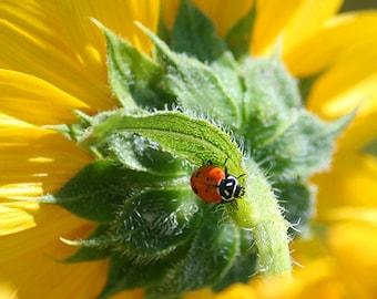Ladybug Art, nature photography, photo of a lady bug on yellow sunflower, ladybug gifts, nursery wall art, fine art print