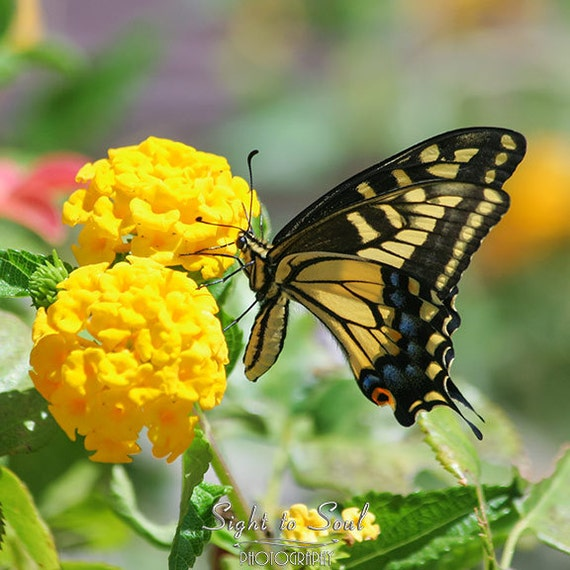 Nature Photography Swallowtail Butterfly Photo on Yellow Flowers Butterfly Gifts Black Yellow Green Home Decor Wall Art Print
