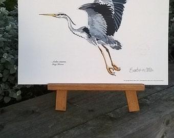 Grey Heron. Ardea cinerea. A very simple watercolour painting of  grey Heron in full flight, digitally reproduced. Print measures 30x40cms