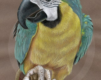 Parrot Original Drawing