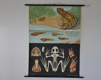 Authentic Pull Down School Chart. Frog.  Mid Century Zoology Print.  Jung Koch Quentell. Germany. Pull down chart map School