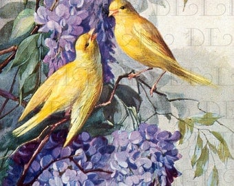 GORGEOUS Golden Yellow BIRDS In Wisteria. Vintage Bird Illustration.  Digital Bird DOWNLOAD. Printable Bird Image.