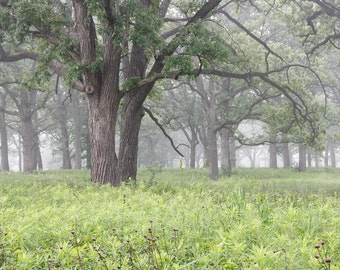 Oak Trees in fog, art photo print, tree photography, landscape picture, large paper or canvas home wall decor 8x10 11x14 16x20 20x30 24x36