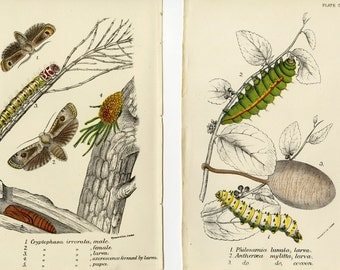TWO Antique Insect Prints Caterpillar Moth C. 1896 Entomology Butterfly Lloyd's Natural History