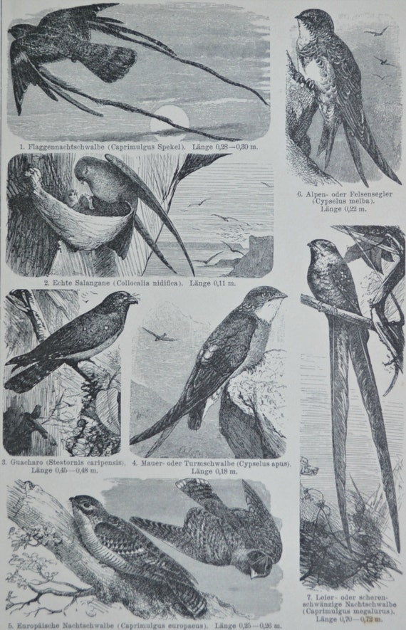 Birds print. Goatsucker, Java swift, oilbird. Natural history engraving. 1901. Old book plate. 114 years  lithograph.9'6 x6'2 inches.