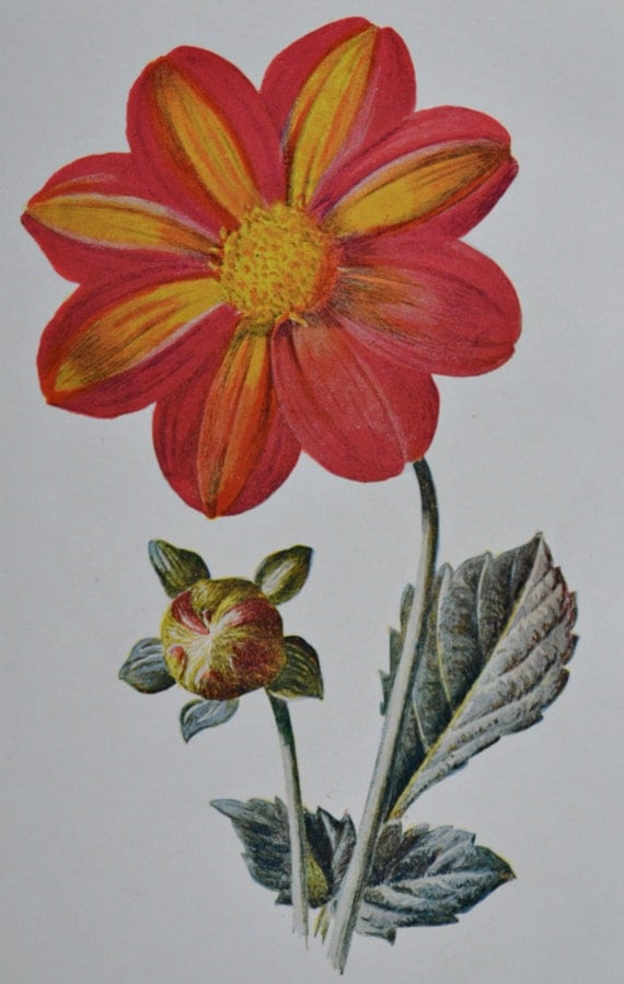 Dahlia variabilis. Single dahlia. Old color print.107 years illustration. Antique lithograph.1907.Botany print.7'4 x 5'1 inches or 19x13 cm.