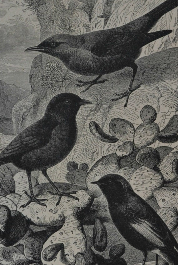 Black Wheatear, Black Redstar and blue rock-thrush. Birds engraving. Antique illustration 124 years old. 1890 lithograph. 9 x 12'3 inches.