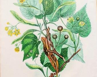 Anne Pratt Antique Botanical Print - Lime Trees Wild Flowers (49)