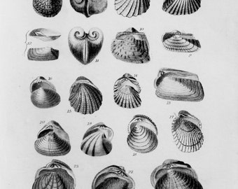 Shells, Fossils, Bivalve, Clam, Oyster, Mussel - Small 1833 Antique Black and White Print or Engraving