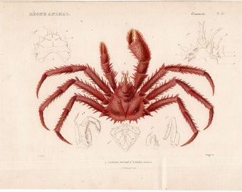 1836 king crab print original antique rare sea life ocean marine animal crustaceans. engraving - lithode arctique