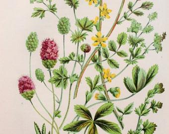 Anne Pratt Antique Botanical Print - Agrimony, Lady's Mantle, Great & Salad Burnett (70)