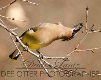 Yoga Berry Waxwing 8x10 photo print