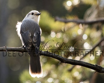 Forest Watcher Photo Print: Gray Jay