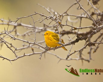 Yellow Warbler, Warbler Photograph, Bird Photography, Warbler Images, Fine Art Prints, Yellow Photo Décor Images, Songbird Photographs, Bird