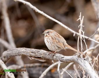 Song Sparrows, Birds, Songbirds, Bird, Sparrows, Sparrow Photography, Songbird Photographs, Song Sparrow Images, Sparrow Fine Art Prints.