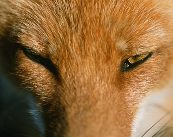 Fox face closeup nature photo by Timothy Treadwell