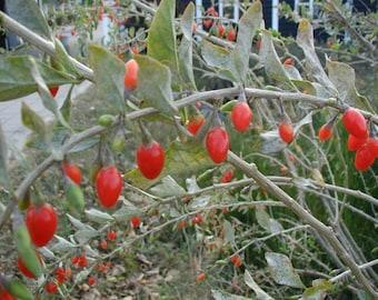 Lycium Chinense - 250 Seeds - Goji Berry Wolfberry
