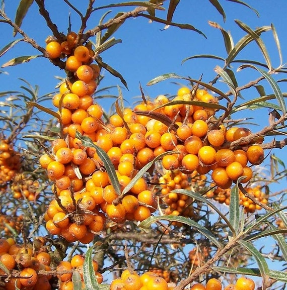 how to grow sea buckthorn from seeds