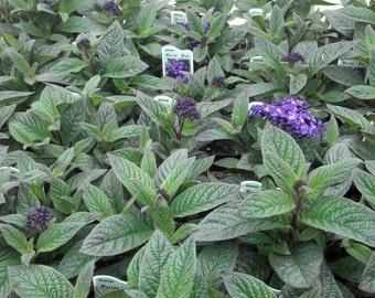 200 Seeds Heliotrope Marino Blue Marine Blue (Vanilla Scent Flower)