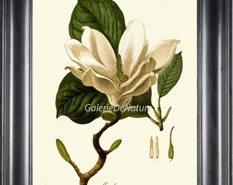 Botanical Art Print H61 Beautiful Antique Large White Magnolia Tree Flower Blooming Spring Nature Home Wall Decor  Illustration Chart Leaf