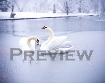 Swans on the Frozen Lake