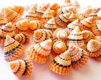 "Tectarius- Cream Top Seashell 0.5-1""-set of 10-Craft Seashells-Small Seashells Bulk-Beach Wedding Decor-Seashells Supplies-Tiny Seashells"