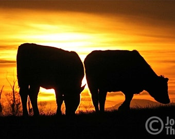 Cattle Grazing on a Virginia Ranch at Sunset 10x15, 11x17 Hereford Cows