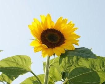 Sunflower Print;  Let The Sunshine In