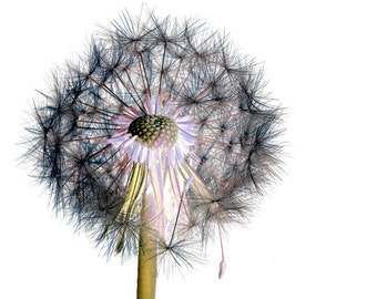 Plant Extract - Dandelion clock No.1.