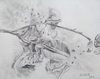 Milk Weed pencil drawing