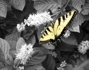 Framed Original Butterfly Art Print - Black & White with color - Print only also available