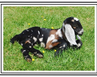 Goat Birthday Card Anglo Nubian Five Cards