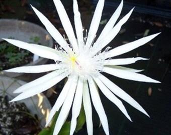 Epiphyllum Oxypetalum Queen of the Night Cactus