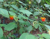 Plant Jewelweed Spotted Orange /Touch- Me- Not / Impatiens capensis/ Invasive Garden Flower Includes SHIP