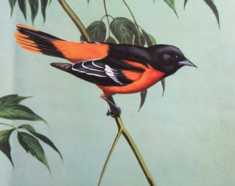 Vintage 1940's Baltimore Oriole Bird Perched on a Leafy Tree Branch Illustration, Print by Walter Weber, Birds, Wall Decor