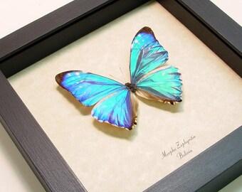 Wedding Gift Real Framed Morpho Zephyritis Rare Iridescent Blue Morpho Butterfly 935
