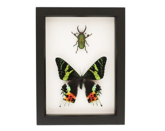 The Stag and the Moth framed insect collection