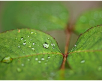 Green Leaf Rose Plant Fine Art Canvas wrap -Washington -Pacific Northwest -Macro -Dew -Raindrops
