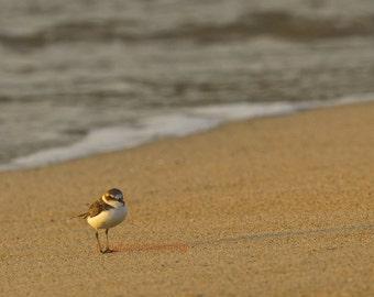 Strolling Along The Beach - Sanderling walking on the beach Beach bum ocean is calling Spring beach Summer Beach ocean bird Fine Art Print